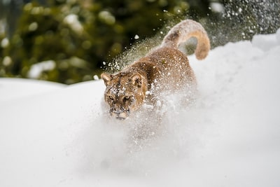 suha-derbent-sony-alpha-7RIII-majestic-snow-cat-prowling-through-snow-with-snow-flying