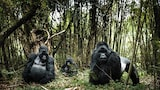 Chris-Schmid-Gorillas-in-the-jungle-Uganda
